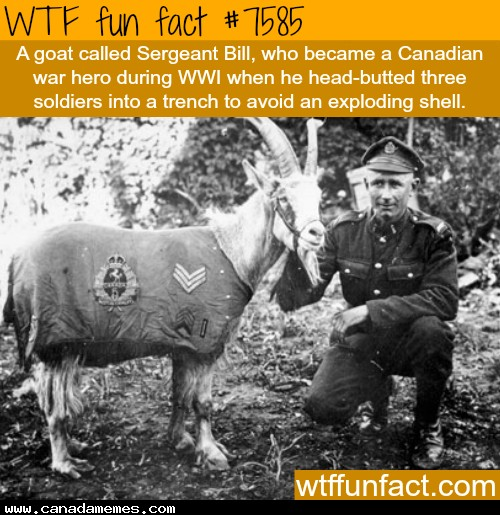 🇨🇦 Sergeant Bill - A Canadian war hero who was also a goat...