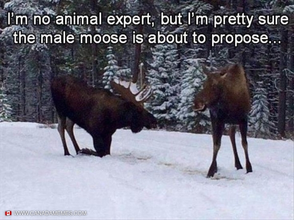 How Moose Get Engaged