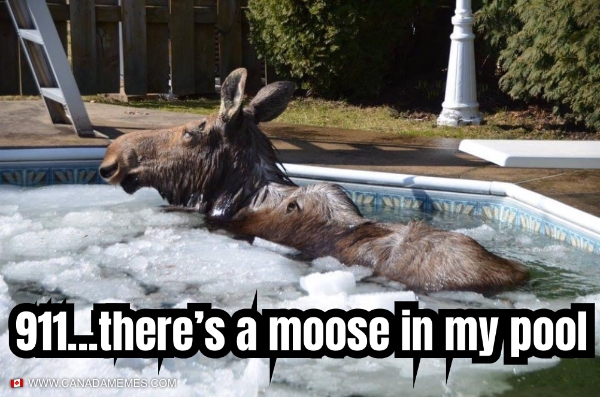 911...There's a moose in my pool