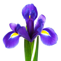 Meaning of Irises   What do Iris Flowers Mean  Iris Flower