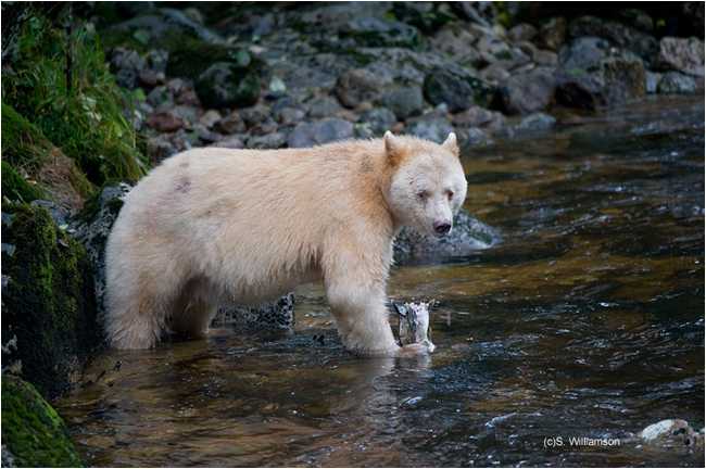 Spirit Bear Steve Williamson ©
