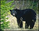 ip2_bear