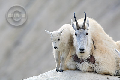 Mountain goat photography in the Canadian Rockies