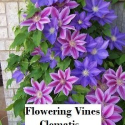 Gardening – Flowering Vines – Clematis