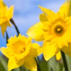 Daffodils and Wales