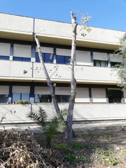 Ospedale Rizza, alberi capitozzati da potature caprine