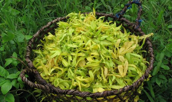 perfumes-masculinos-familias-olfativas-ylang-ylang