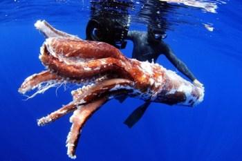 Fotografía facilitada por la empresa Aquawork de los restos de un calamar gigante localizados en aguas del sur de Tenerife en agosto de 2011.