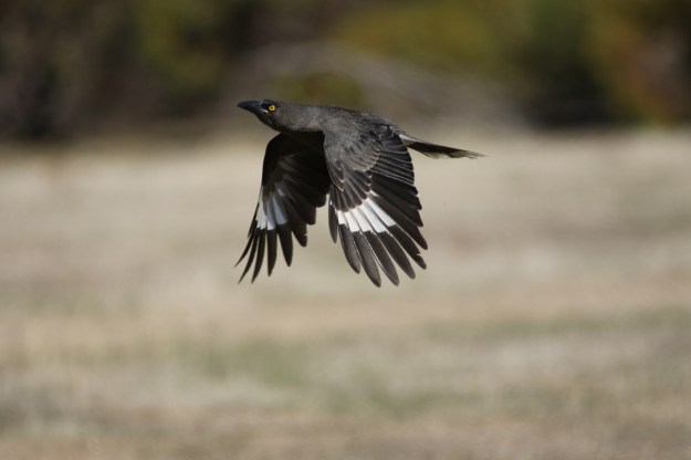 Grey Currawong (C) William Betts 2015 www.birdlife.org.au
