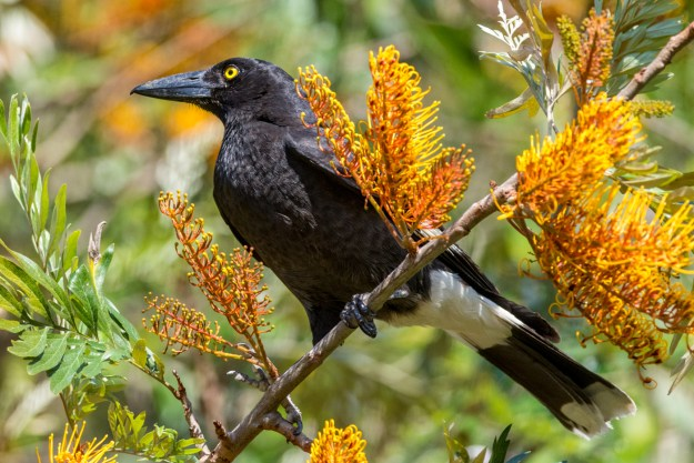 Pied Currawong (C) Harry Charalambous 2014 www.birdlife.org.au