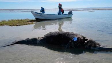Photo of Aparecen 7 ballenas grises muertas en Baja California
