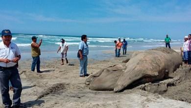 Photo of Ballena de 10.80 metros queda varada en playa de Oaxaca