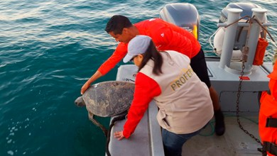 "Photo of 10 tortugas «caguama"" regresan a su hábitat natural"
