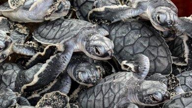 Photo of Registra Cozumel más de cuatro mil nidos de tortugas