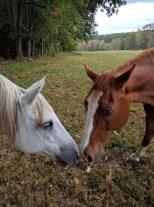 Horses at C&C Farm