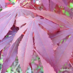 Japanese maple leaves close up