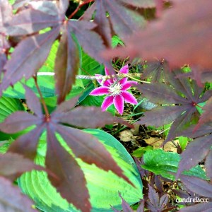 clematis japanese maple tree