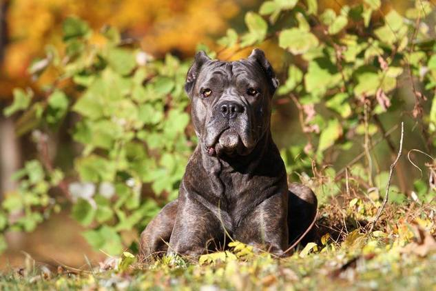 Is The Cane Corso Right For Me