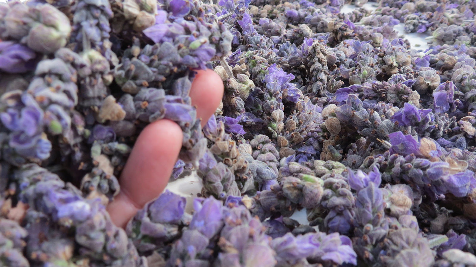 Lavender heads