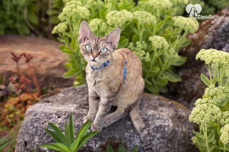 Gatto Devon Rex | Carattere, alimentazione, caratteristiche della razza