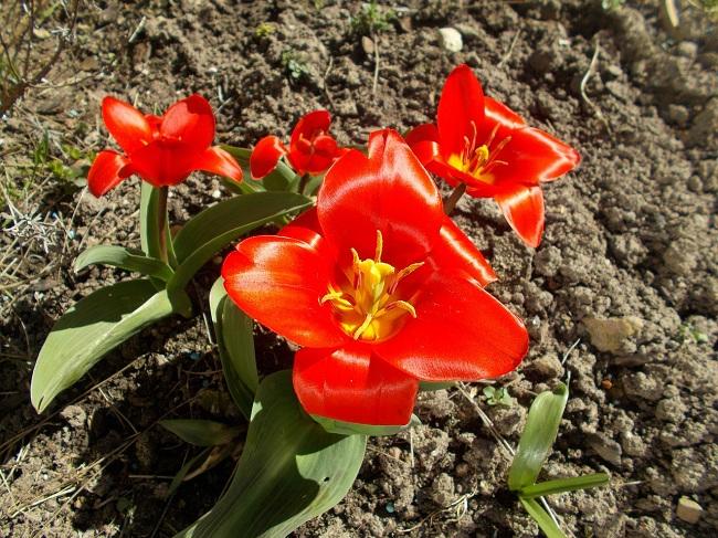 lale-bitkisi-yetistirilmesi-bakimi