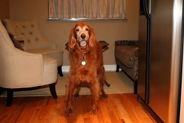 Reilly, a 13-year-old Irish Setter with Degenerative Disc Disease