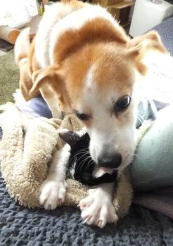うつ伏せの猫を舐める