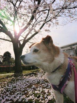 桜と夕日とひな