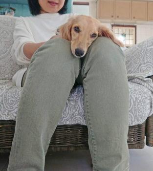 膝の上でマッタリするダックス