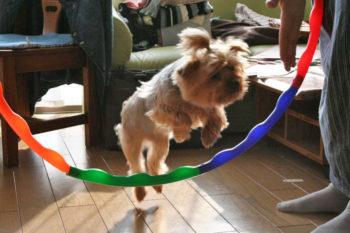 フープを飛ぶヨーキー
