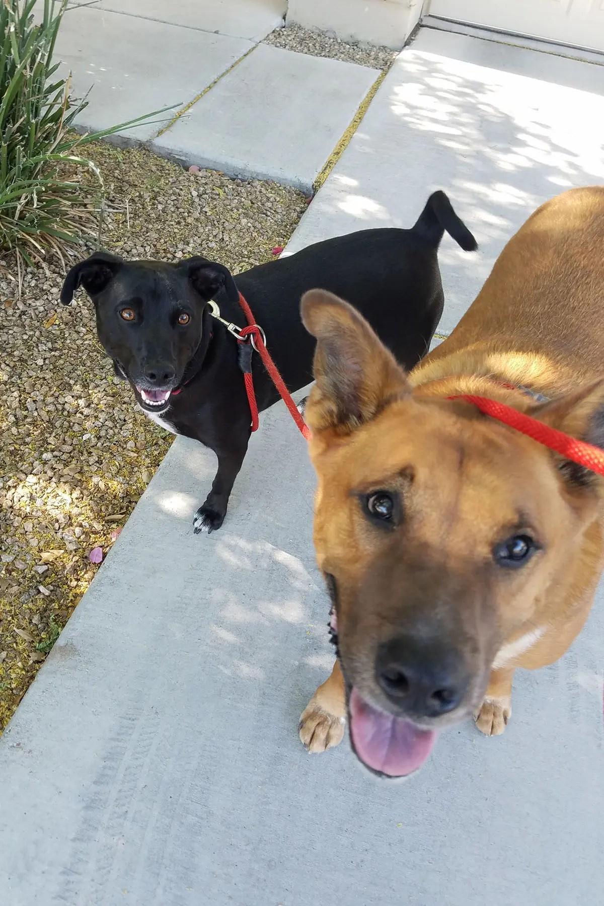 Black small dog and Brown big dog