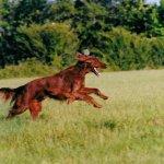 running irish setter