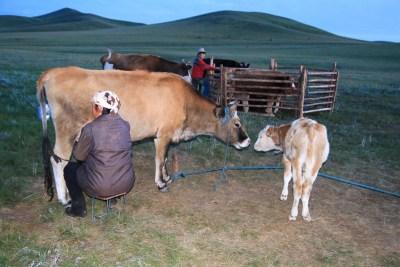 Gece inekler evin hanımı tarafından sağılıyor.