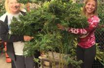 Organizing for the Marijuana Harvest