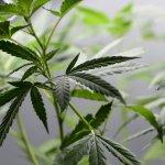 MSP busca reglamentar aceite de cannabis para alimentos