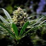 Demasiada marihuana: Oregon intenta reducir su producción
