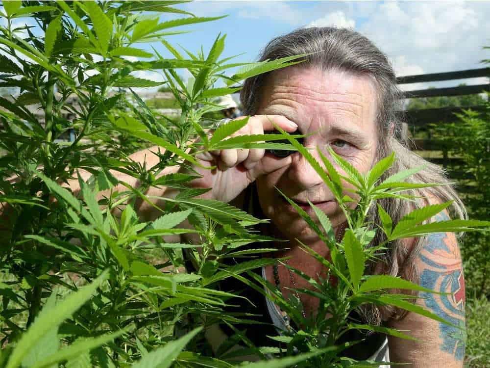 man inspecting cannabis plants