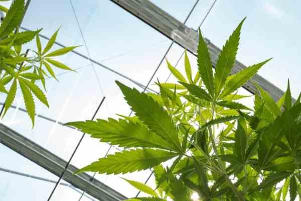 MMAR Medical Marijuana Grow