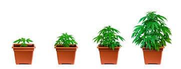 4 plants per household Canada
