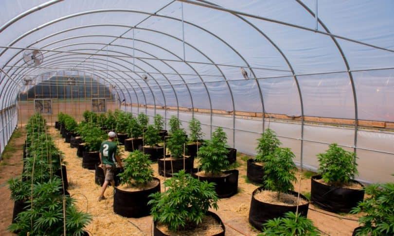 50+Growing Marijuana In A Greenhouse