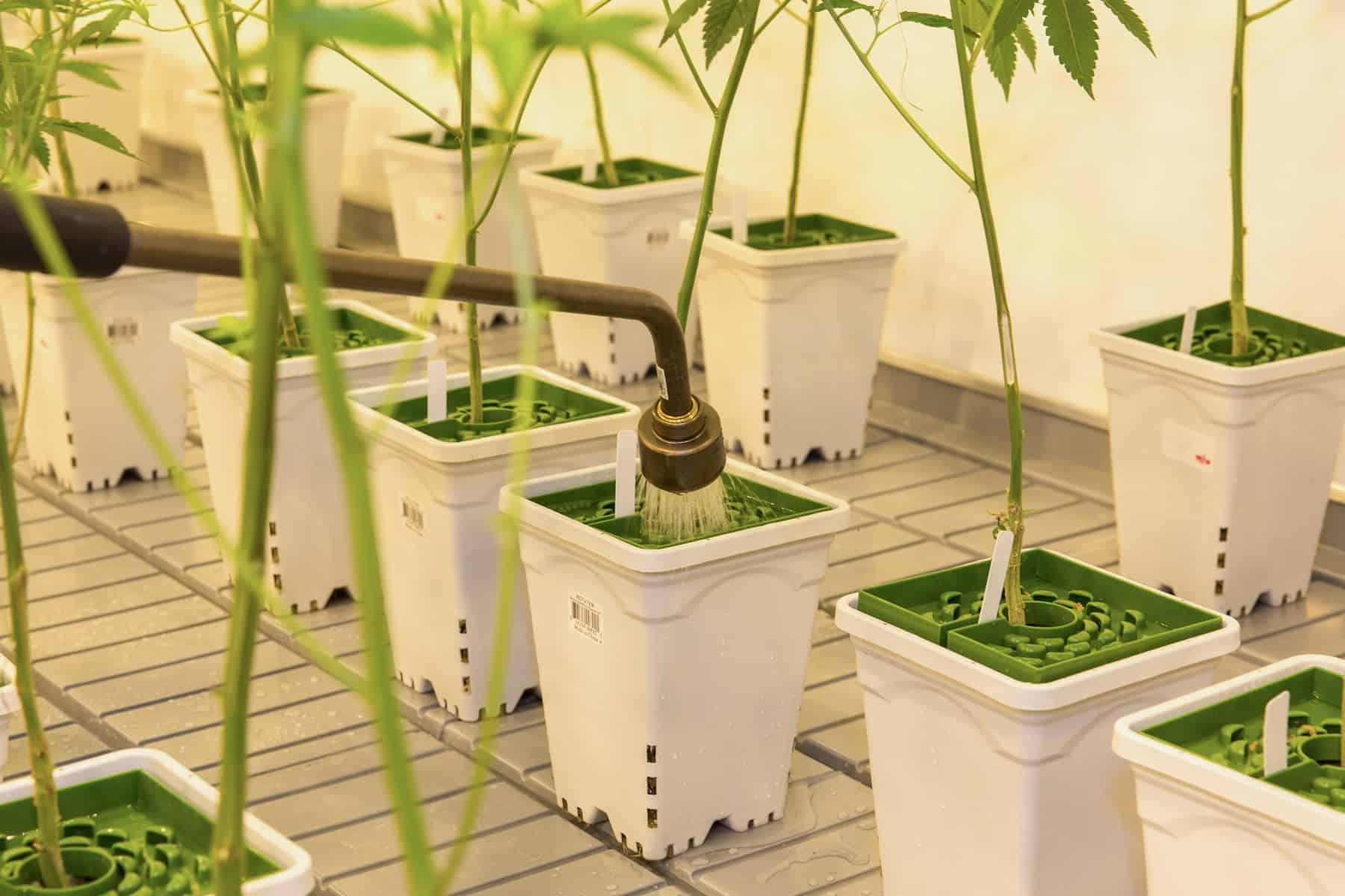 Reverse Osmosis Cannabis