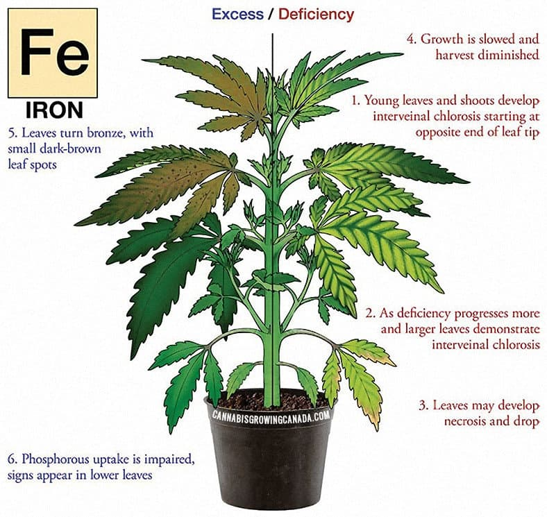 Cannabis Plant With Iron Deficiency