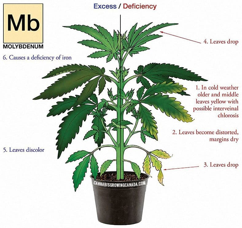 Cannabis Plant With Molybdenum Deficiency