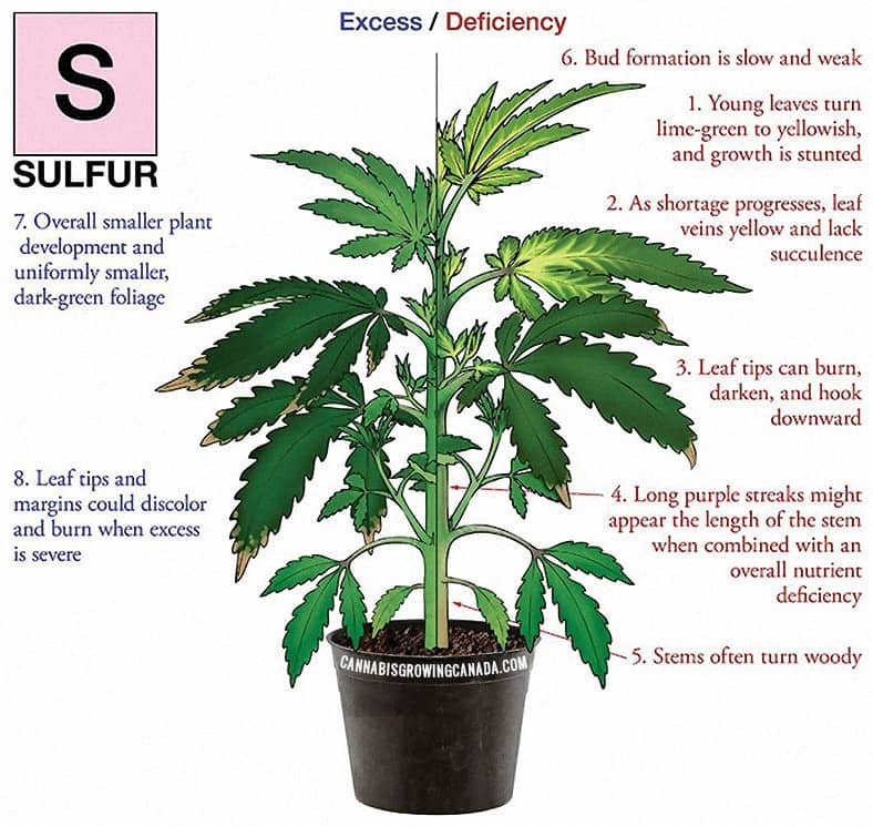 Cannabis Plant With Sulfur Deficiency