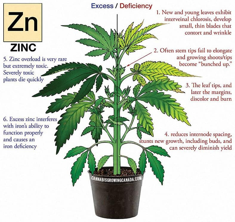 Cannabis Plant With Zinc Deficiency