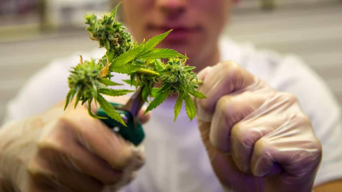 Trimming marijuana by hand using pruning snips