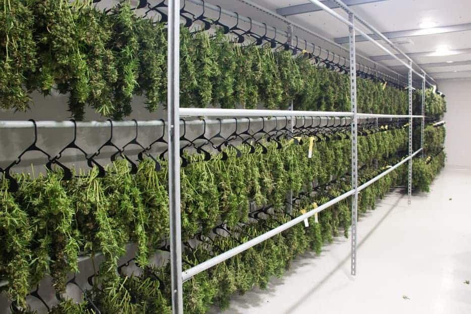 Large cannabis drying room