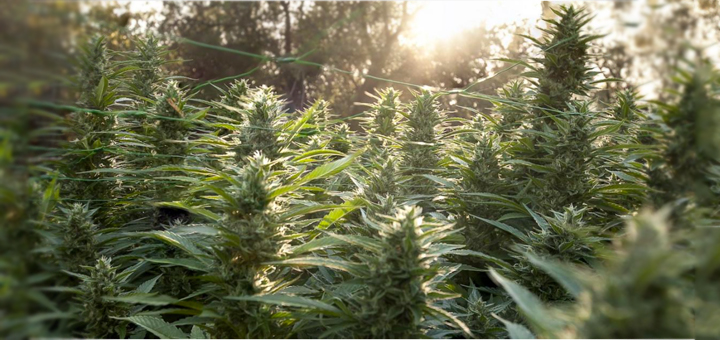 7 Common mistakes made when Growing Cannabis