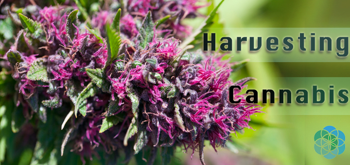 Harvesting your Cannabis Plant