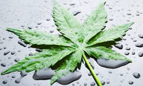 Flushing your cannabis plant